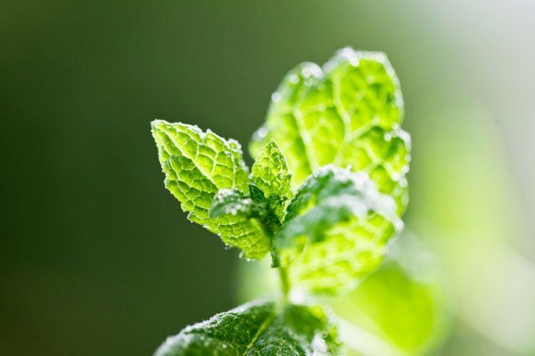 Tips dan Cara Menghilangkan Bau Mulut Secara Alami - daun mint