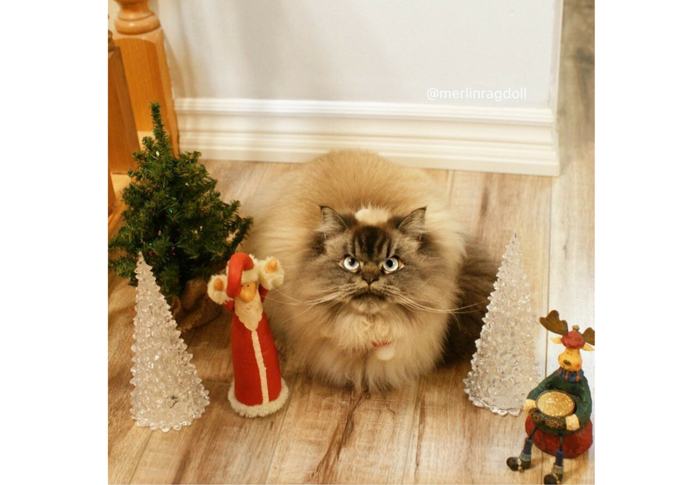 Merlin, Si Kucing yang Punya Mimik Wajah Jutek!