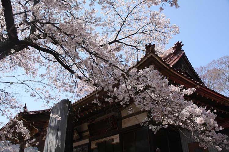 jissou-ji-sakura-06b77099c4e428744261ccfcbe868ed9.jpg