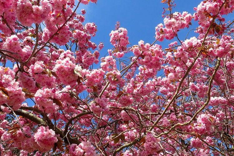 Sakura atau Hazakura? Ini Lho 6 Fakta Unik Dibalik Bunga Nasional Jepang