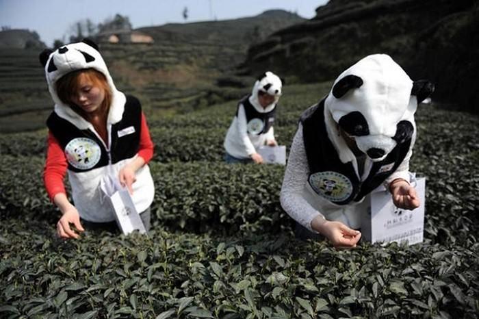 panda-dung-tea-582c6bbe2bfd85203575ad37b632bbef.jpg