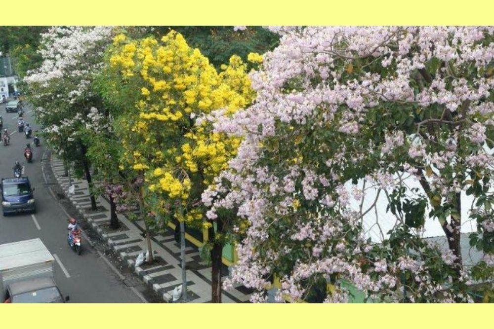 Jalan-Jalan ke Surabaya, Jangan Lupa Lihat Bunga Tabebuya