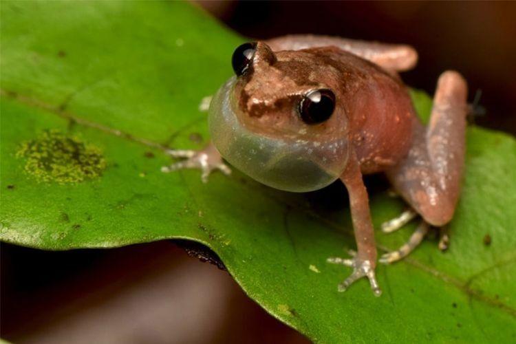 Bornean Frog Race, Belajar Mengetahui Jenis Amfibi dan Konservasinya