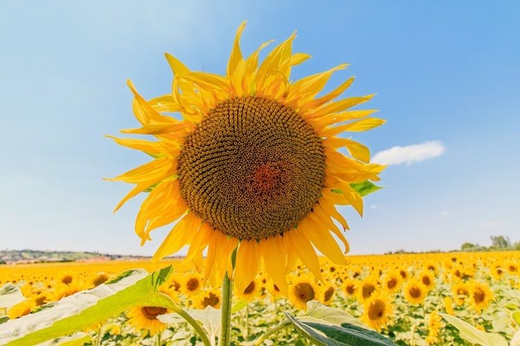 5 Arti dan Filosofi Bunga Matahari
