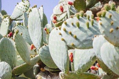 14 Jenis Tanaman Kaktus Hias Dalam Rumah