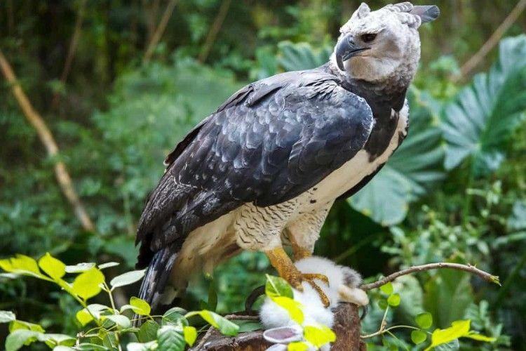 7 Fakta Elang Harpy, Burung Terbesar di Dunia yang Langka