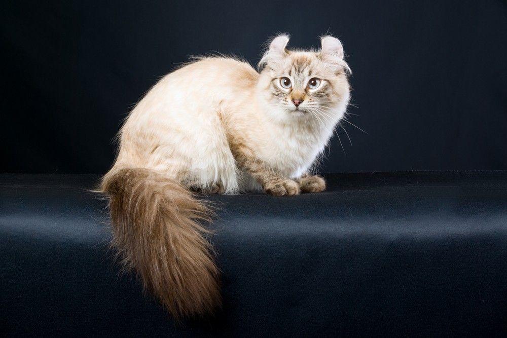 Tahu Nggak Sih? 17 Ras Kucing Rumahan Ini Ternyata Langka Banget