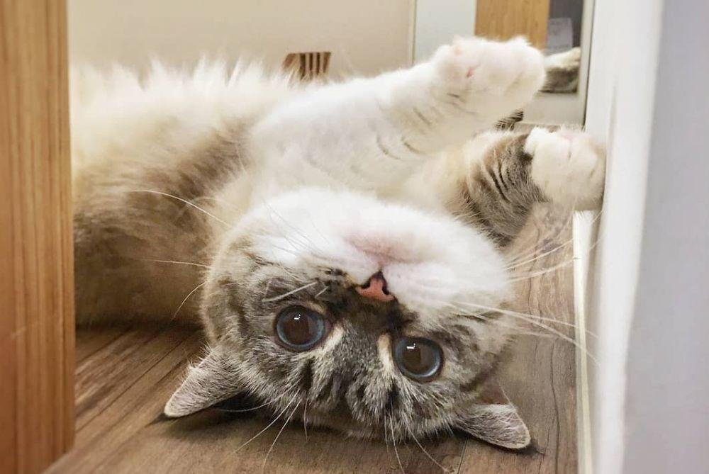 9 Fakta Kucing Munchkin, Si Mungil Penuh Kontroversi
