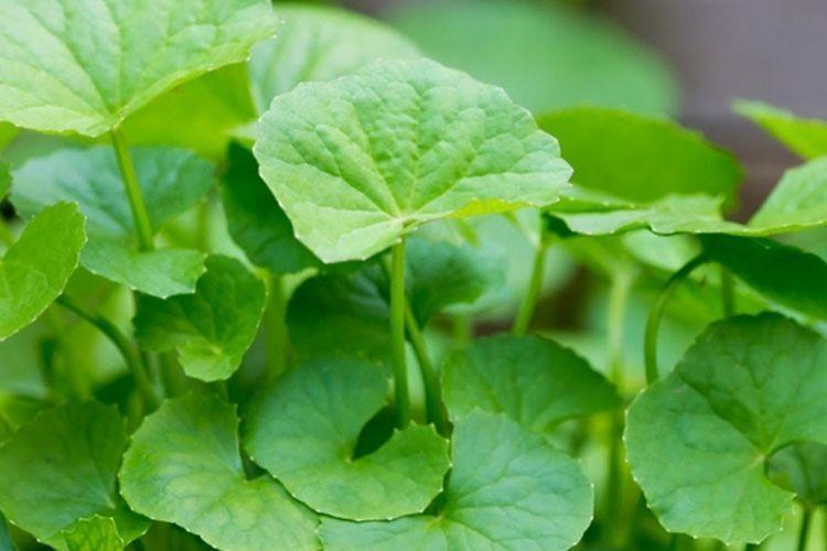 Lagi Ngetren, Ini 7 Manfaat Centella Asiatica Bagi Kulit