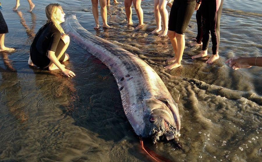 9 Fakta Oarfish, Makhluk Laut yang Dianggap Jadi Penanda Bencana