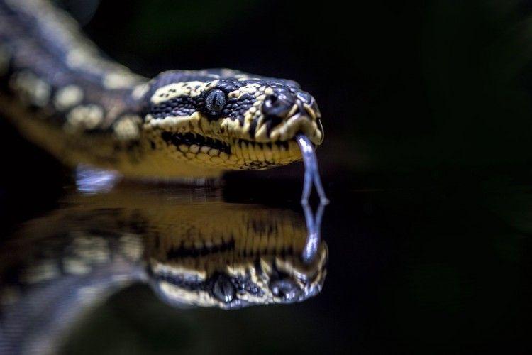 Dalam 17 Hari, 63 Ular Kobra Berhasil Dievakuasi dari Kota Bekasi