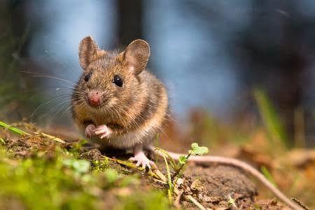 2020 Tahun Tikus Logam, Ini 4 Shio Yang Diprediksi Alami Kesialan