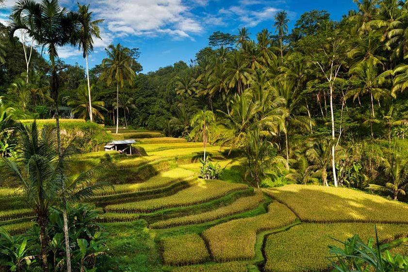 Masuk Google Doodle, Ini 5 Fakta Unik Subak Budaya Pertanian Bali