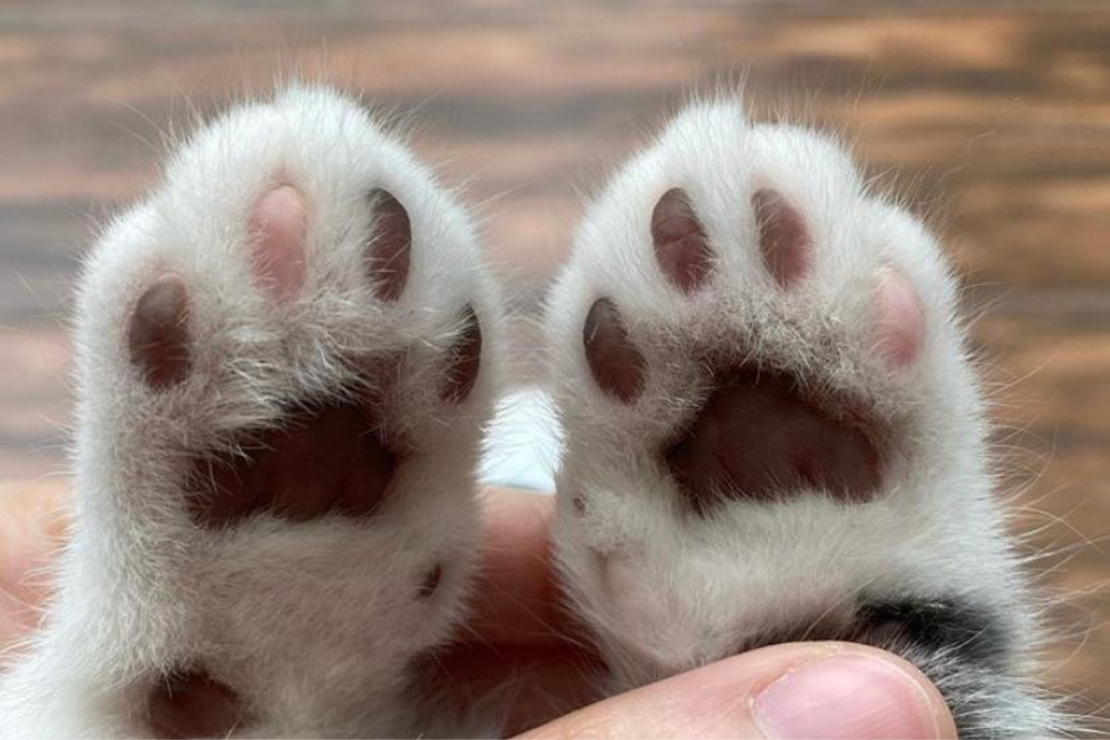 Unik dan Berkarakter, Ini 7 Cara Merawat Kucing Munchkin