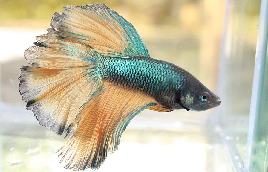 7 Cara Merawat Ikan Cupang Yang Baik Dan Benar Agar Indah
