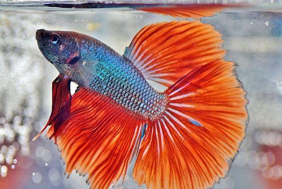 7 Cara Merawat Ikan Cupang Agar Ekor dan Siripnya Indah