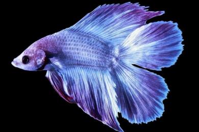 Bantu Hilangkan Stres, Ini 5 Jenis Ikan Cupang Hias Super Menawan