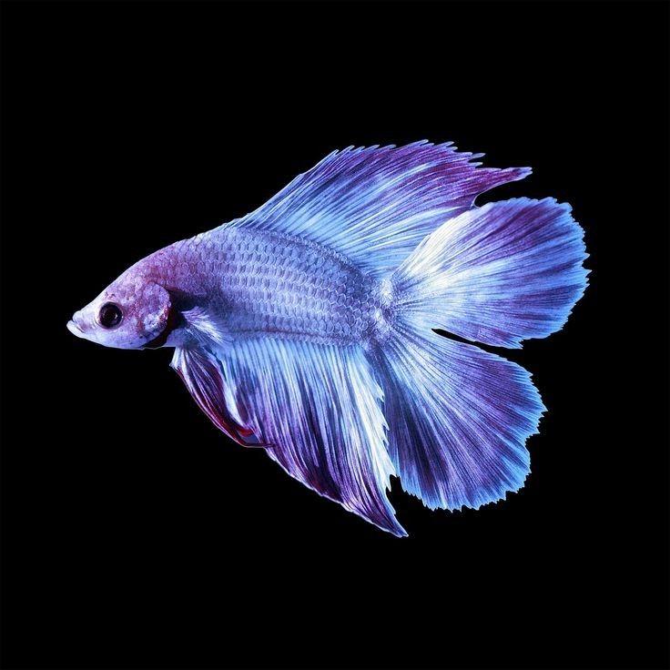 Tembus 20 Juta, Ini 5 Jenis Ikan Cupang Termahal
