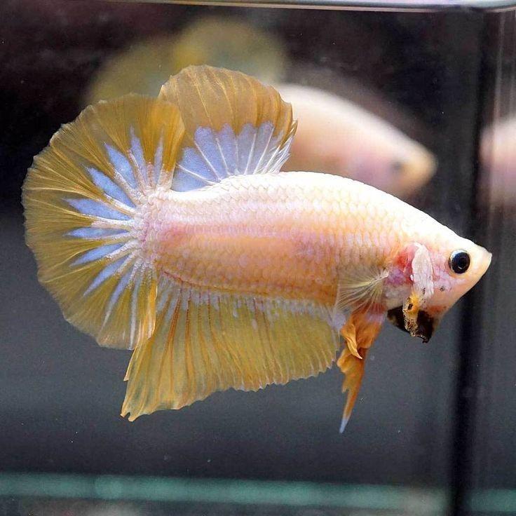Tembus 20 Juta Ini 5 Jenis Ikan Cupang Termahal