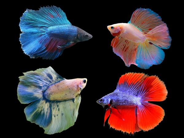 Jadi Koleksi Ini 7 Ikan Cupang Termahal Di Indonesia