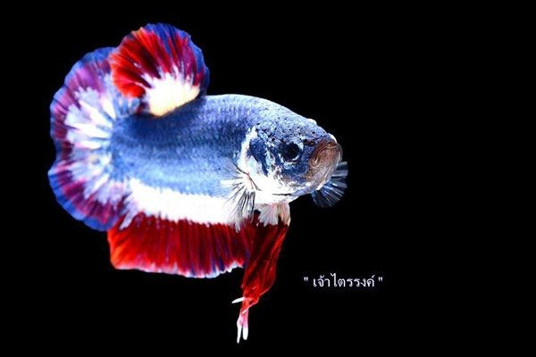 Jadi Koleksi, Ini 7 Ikan Cupang Termahal di Indonesia