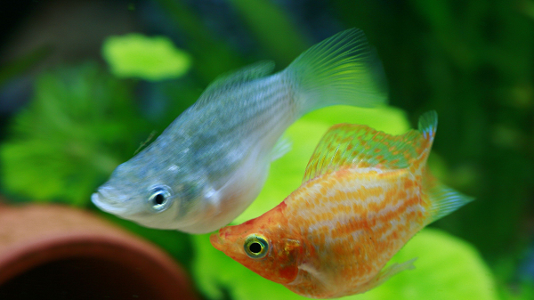 Mengenal Peluang Bisnis Ikan Cupang: Modal, Keuntungan, dan Pemasaran
