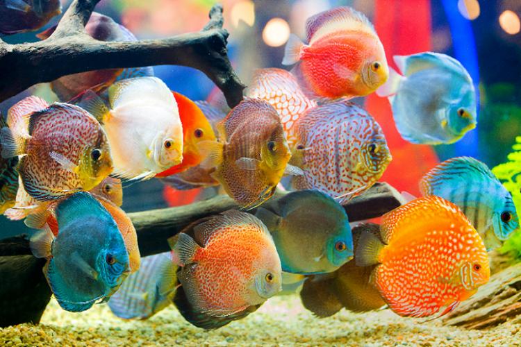 9 Jenis Ikan Hias Air Tawar yang Cantik untuk Akuarium