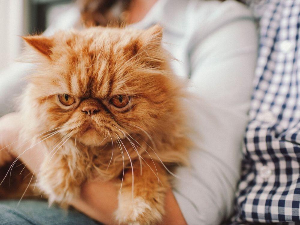 9 Fakta Ilmiah 'Kocheng Oren', Si Kucing Oranye yang Terkenal Nakal