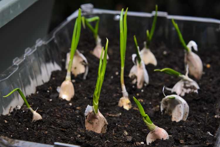 Ini 8 Langkah Mudah Tanam Bawang Putih Hingga Panen di Rumah