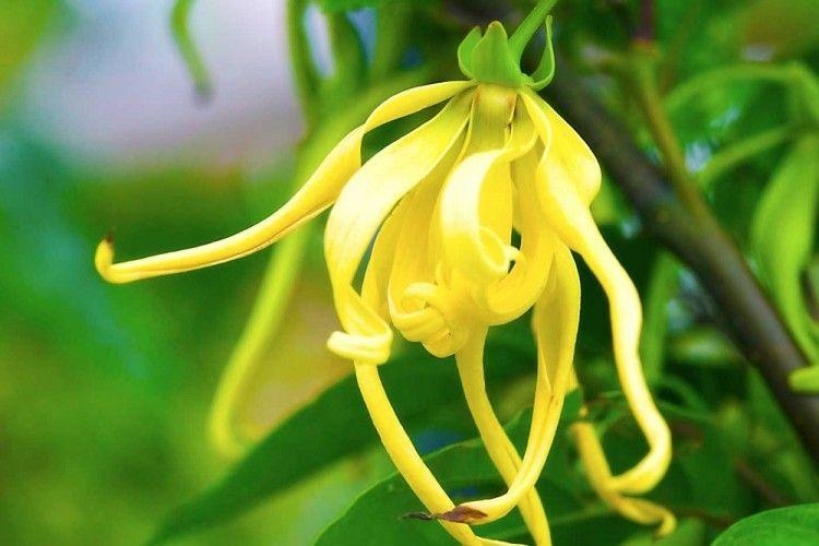 Kenanga, Si Bunga Kuburan yang Simpan 5 Manfaat Bagi Kesehatan Kulit