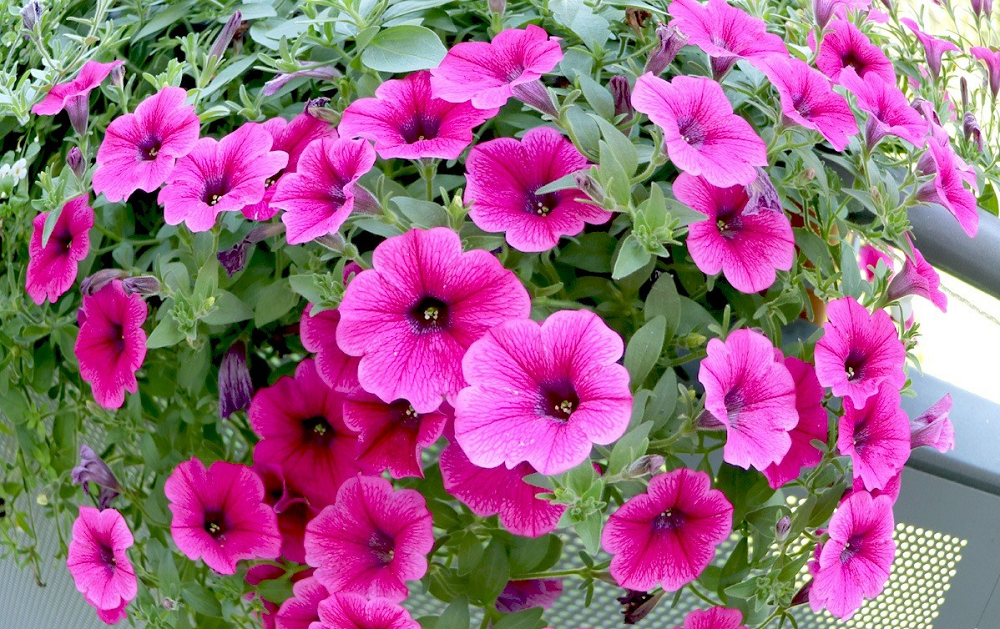 Paling Indah! Ini 9 Jenis Tanaman Bunga Untuk Mempercantik Rumahmu