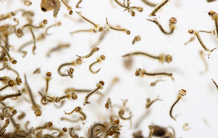 Bertelur Hingga 300 butir, Ini Fase Hidup Nyamuk dan Cara Membasminya!