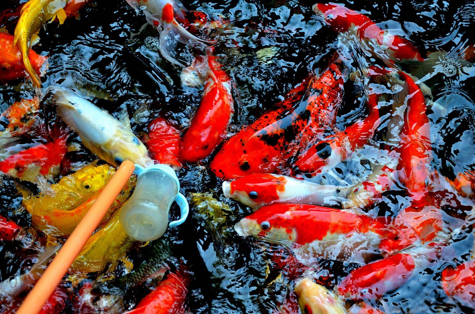 Nggak Sulit Kok, Ini 10 Cara Memelihara Ikan Koi untuk Pemula