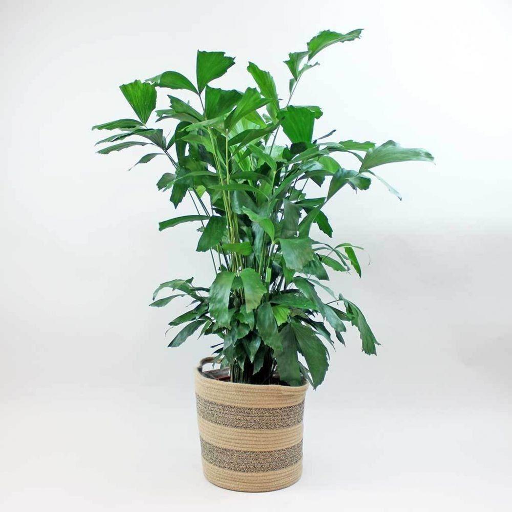5 Jenis Pohon Palem Hias yang Cocok untuk Interior Rumah, Bikin Cantik