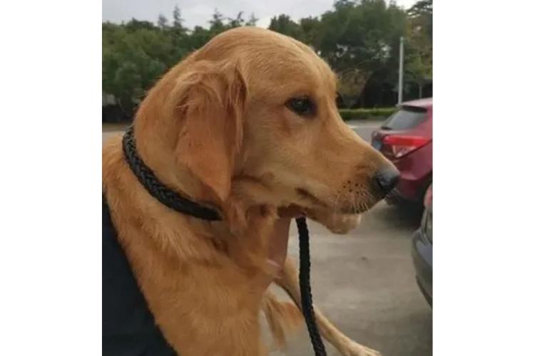 Haru! Anjing Berjalan lebih dari 100 Kilometer Demi Bertemu Pemiliknya