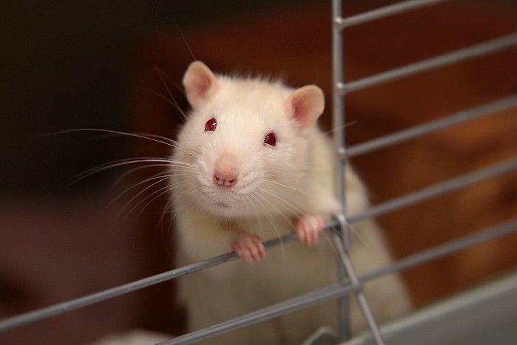 Mudah Didapat, 5 Cara Mengusir Tikus Menggunakan Bahan Rumahan