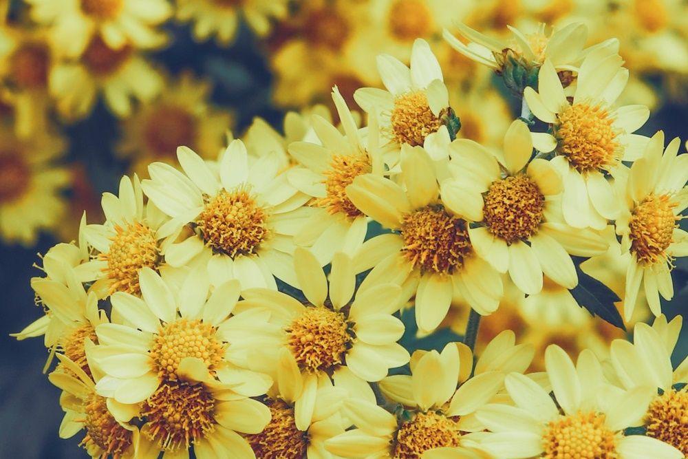 Ekspor ke Jepang, 5 Jenis Bunga Krisan Ini Cocok untuk Hiasan Rumah