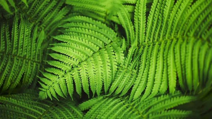 Could be medicine, these are 7 types of ferns that have many benefits