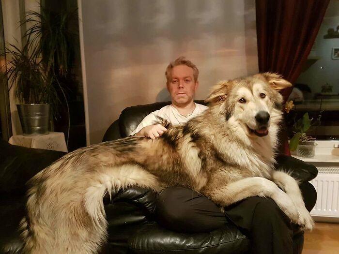 Penampakan 13 Anjing Berukuran Manusia yang Malah Bikin Gemas!