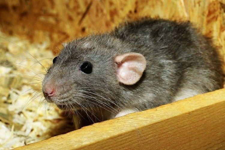 Tanam 9 Tumbuhan Ini di Rumah, Dijamin Tikus Langsung Kabur