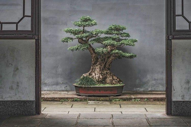 Cara Merawat Pohon Bonsai Beringin Agar Subur dan Panjang Umur