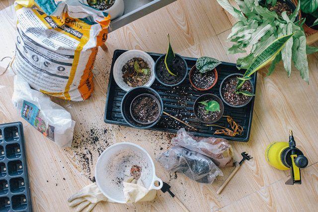 7 Cara Mudah Menanam Tanaman Walisongo Teknik Stek Pucuk