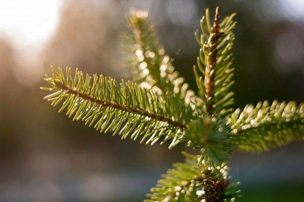 Tak hanya dekorasi, 12 jenis pohon pinus populer memiliki manfaat