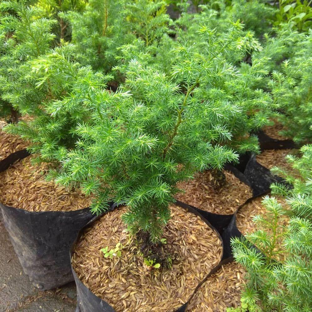Tak Hanya Dekorasi, 12 Jenis Pohon Cemara Populer ini Ada Manfaatnya