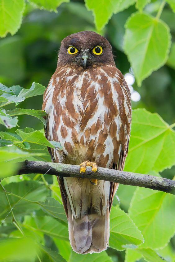 8 Jenis Burung Hantu Asal Indonesia yang Bisa Jadi Peliharaanmu