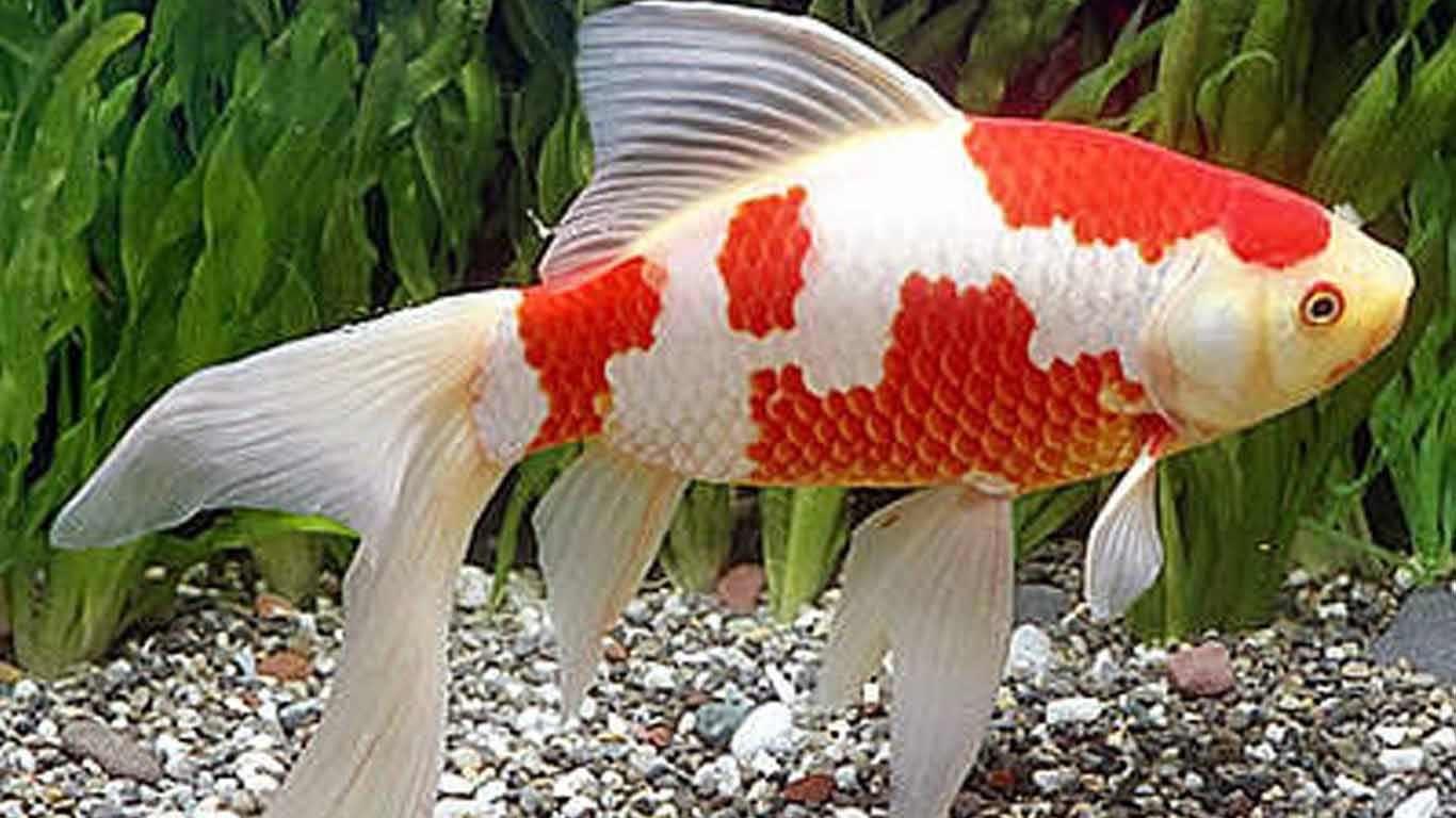 8 Jenis Ikan Mas Komet dan Tips Merawatnya