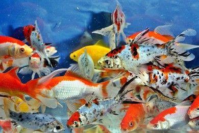 8 Jenis Ikan Mas Komet Tips Merawatnya