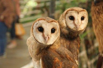 8 Jenis Burung Hantu Asal Indonesia Bisa Jadi Peliharaanmu