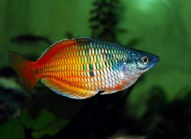 Memesona, Ini 7 Jenis Ikan Aquascape yang Super Cantik