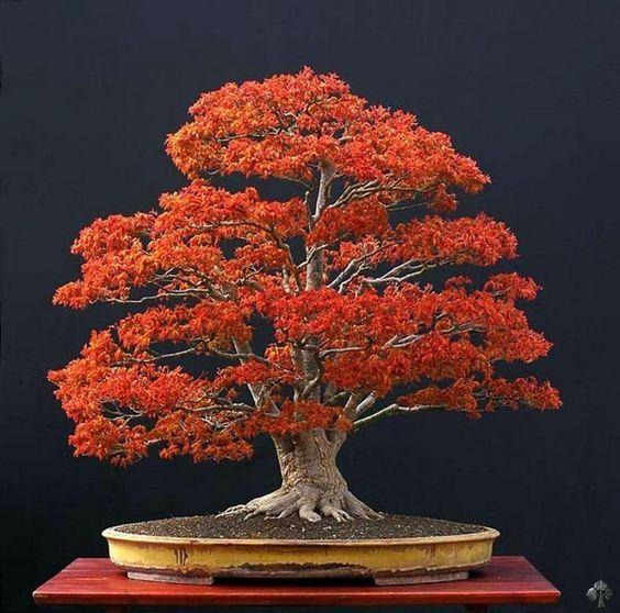 Ini 5 Cara Membuat Tanaman Bonsai, Si Miniatur Pohon yang Filosofis